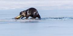 I gots me a nice big Fishy!! (NicoleW0000) Tags: riverotter otters mammal animal wildlife lake ice fish fishing bass walleye ontario canada otter