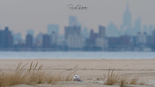 Snowy Owls of New Jersey | 2017 - 40
