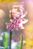 Spring 2018 (janeway1973) Tags: spring frühling garden garten macro makro closeup nahaufnahme colorful farbenfroh bunt flowers blossoms blumen blüten plants pflanzen backlighting gegenlicht hyazinthe hyacinth