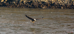 Catch Of The Day (Donald.Gallagher) Tags: animals baldeagle baldeagles birds conowingo dam eagles lenstagger md maryland nature northamerica public sharpening typecolor typephotoshop typeshutterbuttonfocus typetelephoto usa winter