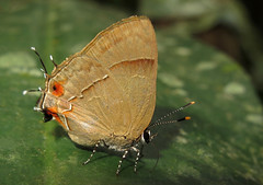 Lamprospilus orcidia (Camerar 4 million views!) Tags: butterfly lamprospilusorcidia lycaenidae peru butterflies insect