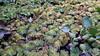 人厭槐葉蘋  Floating Moss (葉 正道 Ben(busy)) Tags: plant 植物 taichung taiwan 台中 台灣 人厭槐葉蘋 floatingmoss 蕨類 fern 吉峰國小