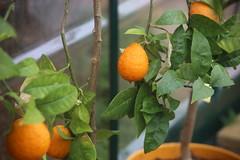 IMG_7263 (Ben936) Tags: flowers plant flora colourful orange fruit greenhouse edible