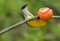 Prothonotary Warbler by Jackie B. Elmore 4-22-2018 Lincoln Co. (jackiebelmore) Tags: protonotariacitrea prothonotarywarbler warbler migrant lincolnco kentucky nikon7100 tamronsp150600f563 jackiebelmore kos