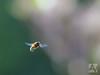hoverfly - zweefvlieg (Arend Vermazeren) Tags: hoverfly zweefvlieg fly vlieg syrphidae