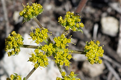 Fennel (LeftCoastKenny) Tags: edgewoodpark flower wildflower