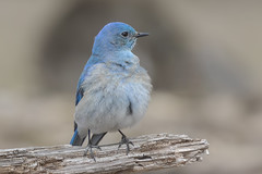 Mountain Bluebird / Merlebleu azuré (shimmer5641) Tags: sialiacurrucoides mountainbluebird merlebleuazuré bluebird birdsofbritishcolumbia birdsofnorthamerica thrushesfamily
