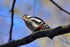 Большой пестрый дятел, Dendrocopos major, Great Spotted Woodpecker (Oleg Nomad) Tags: большойпестрыйдятел dendrocoposmajor greatspottedwoodpecker птицы фотоохота москва bird aves moscow russia