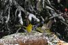 Lucherini in disputa... (silvano fabris) Tags: canon photonature natura animals animali birds uccelli lucherino
