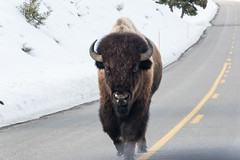 IMGP5805.jpg (PenTex) Tags: buffalo bison yellowstone winter montana snow