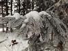 Reif (shortscale) Tags: schnee eis reif tanne nadel baum fichte