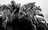 Goodbye Winter (79/365) (Walimai.photo) Tags: black white blanco negro byn bw blanc noir branco preto lumix lx5 panasonic homemade casera tree árbol ice hielo detail detalle nature naturaleza