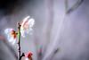 梅 #4ーPlum #4 (kurumaebi) Tags: yamaguchi 山口市 秋穂 nikon d750 nature 自然 landscape 梅 plum ウメ macro マクロ