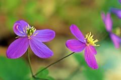 Spoiled flower (cengizskpl) Tags: nature flowers lila macro grouptripod nikon7200