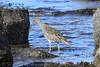 Curlew (Dougie Edmond) Tags: bird beach water birds nature wildlife springtime spring canon prestwick scotland unitedkingdom gb