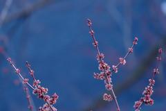 P3198138 (Paul Henegan) Tags: 32crop acersaccharinum blossoms bluehour blur branchlets buds crepuscule dusk selectivefocus silvermaple twigs
