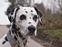 Shisana (jens.steinbeisser) Tags: deutschland olympusepl3 tierfotografie dalmatiner hund hundefotografie hundefotos rawtherapee outdoor bokeh shisana carlzeissplanar50mm17t cyobjektiv