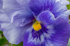 """Blue"" - Blooms of Spring (arvinbenitez) Tags: macromondays theblues"