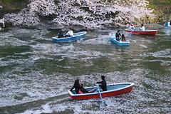 Sakura Viewing from Boat (seiji2012) Tags: 東京 千代田区 花見 桜 ボート 花びら tokyo cherryblossom chidorigafuchi imperialpalace moat お濠