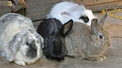 die Arbeit ist erledigt, Ostern kann kommen!  -  work is done, Easter can arrive! (karinrogmann) Tags: ostern2018 kaninchen coniglio rabbit