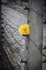 A flower in Auschwitz (Roberto Bendini) Tags: krakow auschwitz lager poland jews worldwarii prisoner church