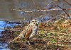 Song-Sparrow-41w (egdc211) Tags: connecticutbird connecticutbirds canon connecticutwildlife connecticutbirding connecticutbirdpix birdwatcher bird backyardbirding birds sparrow songsparrow naturewatcher newenglandbird nature newenglandbirds newenglandwildlife newenglandwildlifephotography ornithology outdoors wildlife