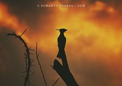 The sky broke like an egg into full sunset and the water caught fire.  BIRD - Eurasian Hoopoe _________________________________________________ #sunset #bird #dawn #mysore #canon #picoftheday #pic #nature #closeup #indianshutterbugs #incredibleindia #indi (saneo3103) Tags: indianshutterbugs natureinside focus travelporn nature dawn photographylovers sunset igers travellife picoftheday igrammingindia incredibleindia canon natgeotravelpic pic bird indianphotography insta closeup travelbug nammakarnatakaphotographers mysore mothernature discoverglobe natgeoyourshot ourplanetdaily natureporn travel