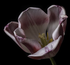 White And Pink Tulip In The Light (Bill Gracey 21 Million Views) Tags: flower flor fleur offcameraflash homestudio blackbackground yongnuo yongnuorf603n macrolens tulip color colorful red white yellow sidelighting tabletopphotography