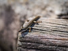 """I see you!"" (Eddy Summers) Tags: lizard reptile macro skink wink gaze intimacy love crush pentax pentaxk1 bluemountains dfa100mm28 reptilian eulamprusheatwolei"