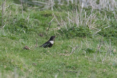Ring Ouzel (Male) Ivinghoe Beacon 07-04-2018-4088 (seandarcy2) Tags: ring ouzels birds wildlife bucks uk thrush