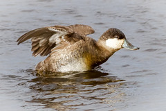 Ruddy Duck (tresed47) Tags: 2018 201803mar 20180312bombayhooknwr birds bombayhook canon7d content delaware ducks folder march peterscamera petersphotos places ruddyduck season takenby us winter ngc
