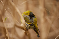 His last day (PhotoChampions) Tags: siskin zeisig death tod sleep schlaf bird vogel birding vogelbeobachtung spring frühling nature natur