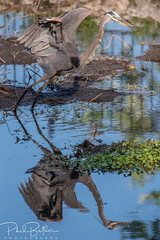 Seeing Double (philbutlerphoto) Tags: bird birding animal wildlife audubon wild austin tx texas great blue heron urban pond shorebird nikonusa nikon d750 reflection double take off wings open ardea herodias