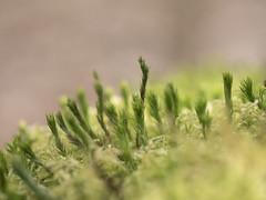 Un monde miniature * (Titole) Tags: macro moss titole nicolefaton green