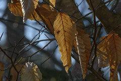 Unshaken (TheNovaScotian1991) Tags: deadleaves forest tree woods leaves twig treebranch eveninglight sunlight translucent victoriapark canada novascotia maritimes colchestercounty nikond3200 afsdxnikkor55200mmf456gedvrii truro closeup bokeh leafvein