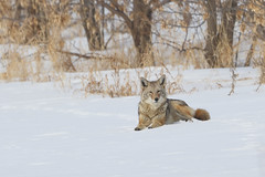 Fearless (Peter Stahl Photography) Tags: coyote sturgeoncounty alberta canada ca
