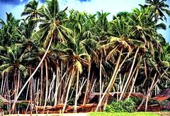 Sri Lanka, Westcoast Village (gerard eder) Tags: world travel reise viajes asia southasia srilanka village palmeras palmen palmtrees natur nature naturaleza landscape landschaft paisajes panorama outdoor
