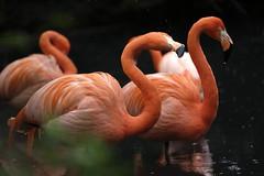 Flamingo's (carlo612001) Tags: flamingos fenicottero fenicotteri rosa pink wildlife nature natura naturalart naturalartist artist picture painting dream sogno quadro raw nopp model models animal animals
