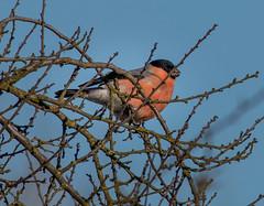 Hýl obecný (pyrrhula pyrrhula) (Pavel Trhon) Tags: pták bird zima winter červená red chlumec