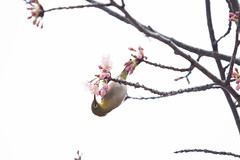_3188174.jpg (plasticskin2001) Tags: mejiro sakura bird flower