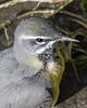 Grey Wagtail Church Lock 16 03 18 (mickfrown) Tags: church lock grove leighton buzzard grey wagtail