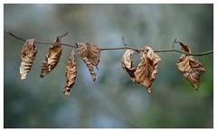 Bientôt la chute...Soon the fall... (isabelle.bienfait) Tags: feuillesmortes nature feuillage forêt wood deadleaves forest arbre toteblätter