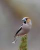 Hawfinch (Kees499  Nature pics) Tags: appelvink keesmolenaar holland nikon d3 afs500f4vr hawfinch hide hut fotohutschaijk coccothraustescoccothraustes