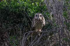 This is why,  it's hard to see them - IMG_5561-2 (arvind agrawal) Tags: shortearedowl owl camaflouge bush shoreline hayward canon canon1dx canon600mmf4ii arvindagrawal 1200mm