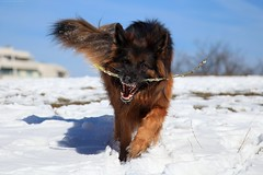 Spring is coming (wmmmk) Tags: dog gsd shepherd german winter blue sky canon 24105l eos5d eos 5dmk2 brown orange motion