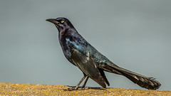A2) Great-tailed Grackle (Bob Gunderson) Tags: birds california concretebridge greattailedgrackle icterids lakemerced northerncalifornia quiscalusmexicanus sanfrancisco