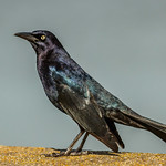 Great-tailed Grackle thumbnail