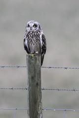 Short Eared Owl 1 (stevedewey2000) Tags: salisburyplain wiltshire spta sptacentre birds bird birdofprey bop owl shortearedowl tamron150600