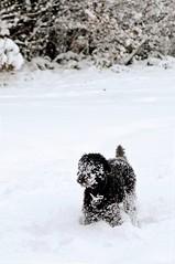 2010-12-02 In for a penny ([Ananabanana]) Tags: d40 gimp photoscape nikkor nikon50mm118ais nikkor50mm118ais nikkor50mmf18 nikon50mmf18 50mm nikonistas nikonista niftyfifty manualfocus prime primelens uk unitedkingdom epsom surrey snow dogs dog walk winter cold poodle nikon