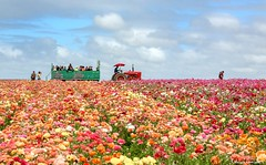The Flower Field 3.24.18 5 (Marcie Gonzalez) Tags: the flower fields carlsbad southern california ca flowers attraction attractions destination destinations plant plants petal petals bloom blooming blooms many botanical botanicals light day morning lighting sun sunny daylight natural nature theflowerfieldscarlsbad san diego field rainbow rows color colors bright ranunculus county north america usa socal so cal marcie gonzalez marciegonzalez marciegonzalezphotography photography canon theflowerfields flowerfields blanket cover covered horizon thousands spread 2018